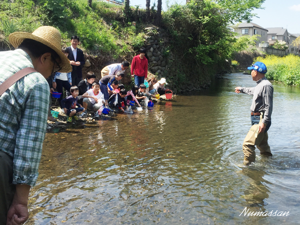 柳瀬川にてアユの稚魚放流