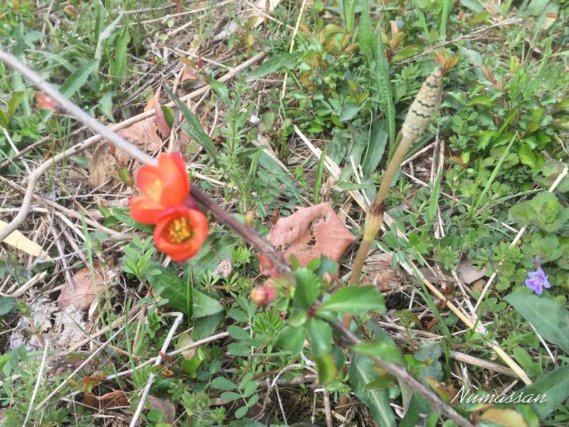赤い花がボケ、右はツクシ