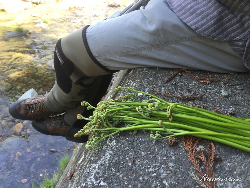 GCさんの山菜摘み。これはワラビ