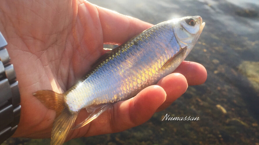新春の釣り④ 早々のオイカワ151