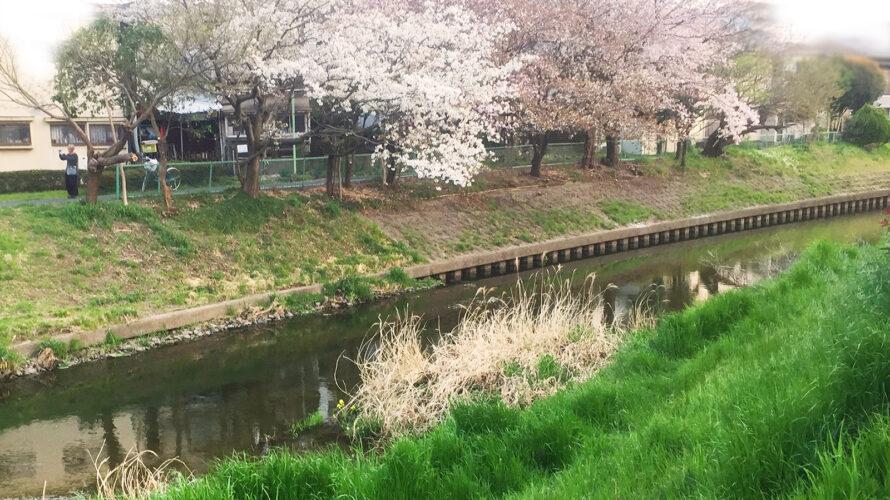 桜満開の下で