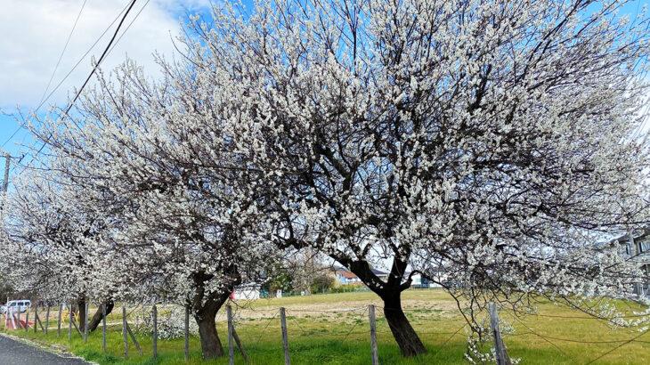 梅便りと春一番
